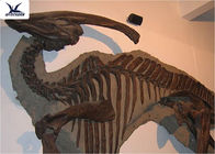 Handmade Museum Dinosaur Skeleton Replica For Outdoor Decoration Warranty 1 Year